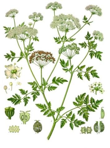 Conium_maculatum_-_Köhler–s_Medizinal-Pflanzen-191